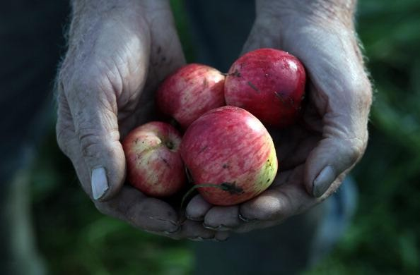 Harvesting Begins At Frank Naish's Cider Farm
